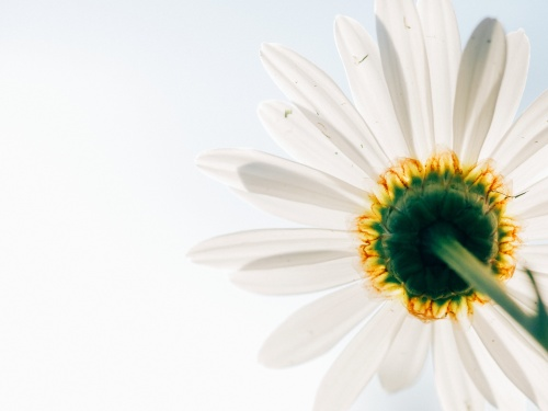 day 20-daisy-flower-from-underneath