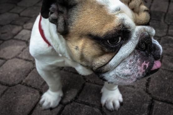 yamon-figurs-bulldog-closeup